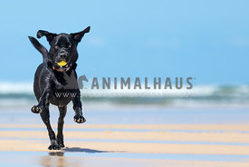 black lab with tennis ball on beach