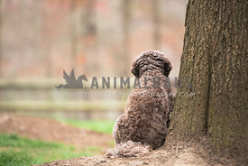 view of cockapoo's back sitting next to a tree