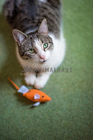 tabby and white cat with orange mouse toy