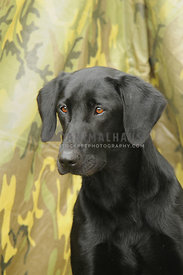 Labrador Retriever headshot with camouflage background
