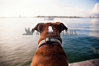 dog watching boats on bay