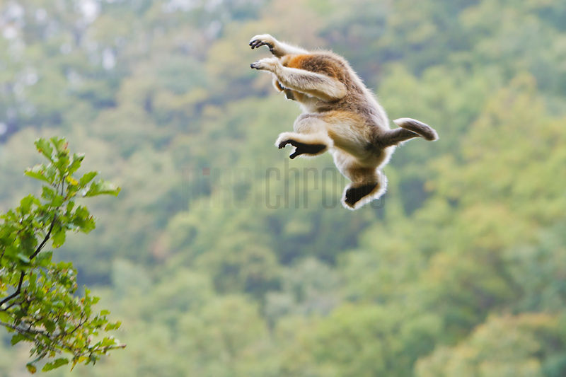 Golden Monkey Jumping from Tree to Tree