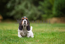 bassett hound puppy sniffing the air in backyard