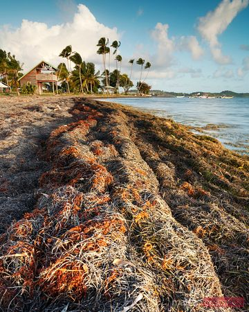 Seaweed on beach in Martinique Caribbean