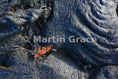 Mollugo sp Carpetweed colonising Pahoehoe Lava (Rope Lava) dating from a 19th century volcanic eruption (see Description), Sa...