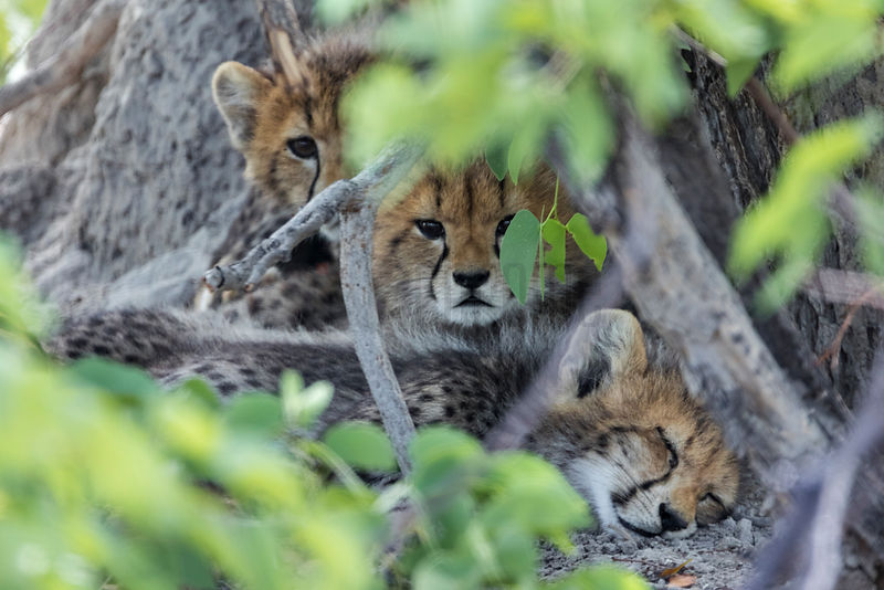Newborn Baby Cheetahs Hidden in Mopani Bush