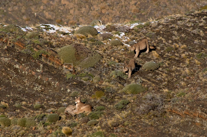 Puma (Felis / Puma concolor) female lying with a cub as two more walk down the bank towards them, Torres del Paine National P...