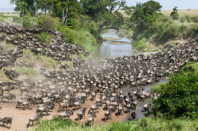 Wildebeest (Connochaetes taurinus) herd crossing Talek river during migration, Masai-Mara game reserve, Kenya.