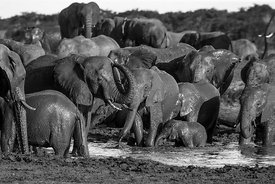 Muddy Elephants No.5  Zimbabwe 2017  Photographer Neil Emmerson  £975 inc UK VAT  Edition of 25.
