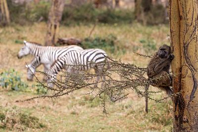 Baboon in Tree With Zebra in Background