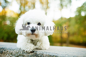 bichon on stone wall in backyard