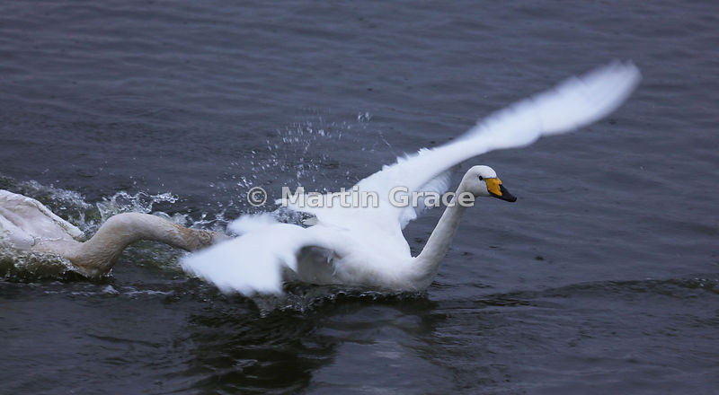 Adult Whooper Swan (Cygnus cygnus) attempting to escape from an aggressive juvenile, Dumfries & Galloway, Scotland