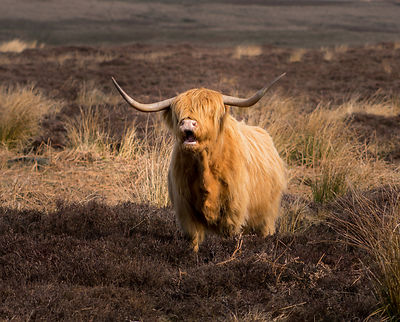Highland cow on Baslow Edge
