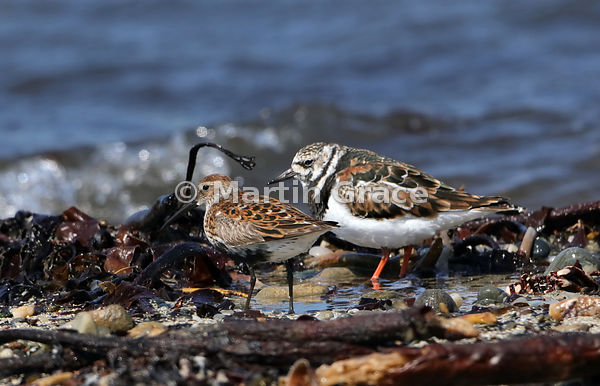 Dunlin (Calidris alpina) with a Ruddy Turnstone (Arenaria interpres) for size comparison, Bigton Wick, Mainland South, Shetland
