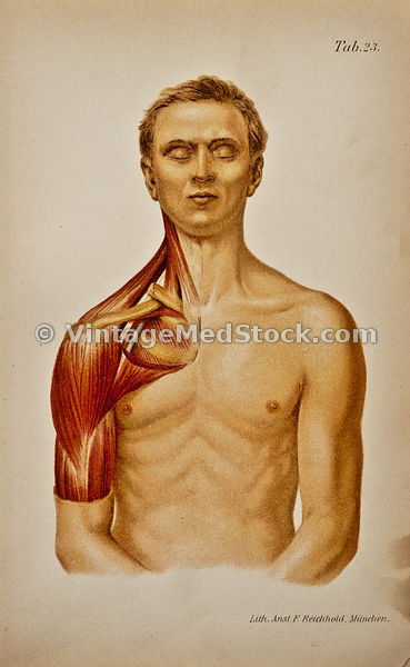 Muscles of the Neck and Shoulder
