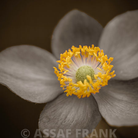 Close-up of Anemone flower