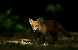 Fox Cub in Dappled Light, London