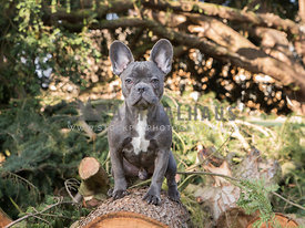 French bulldog sat on a fallen log in the forest