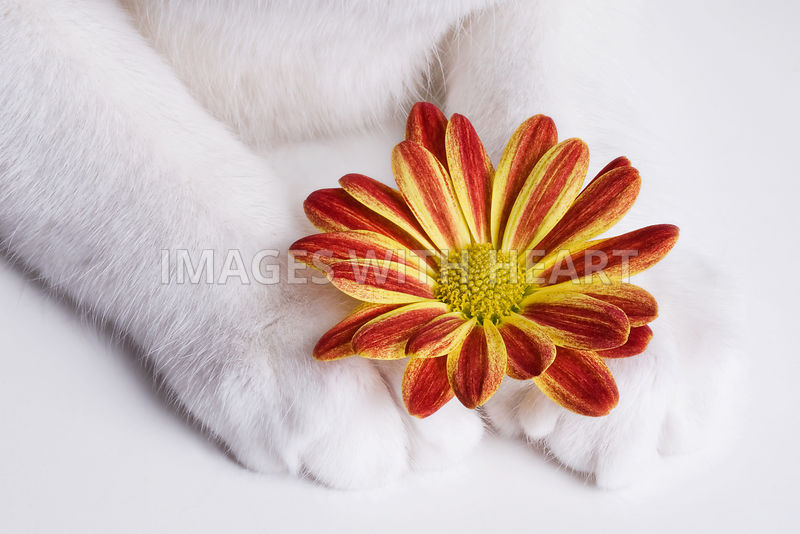 Flower between white cat paws