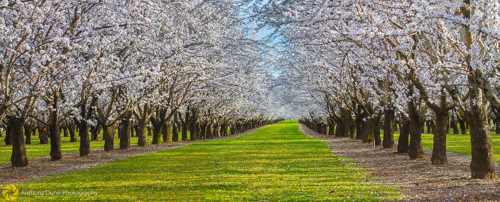 Panorama of Almond Orchards #1