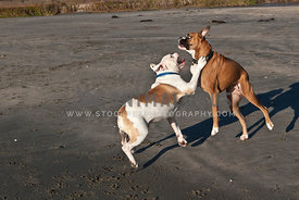 Boxer and Bulldog wrestling on beach