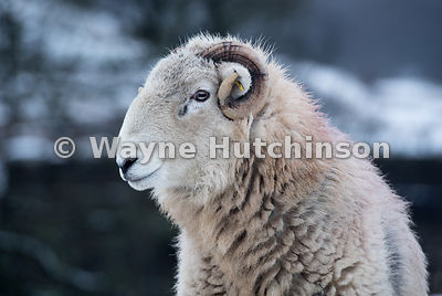 Herdwick sheep, traditional hill breed from Cumbria, in snowy weather, Cumbria, UK