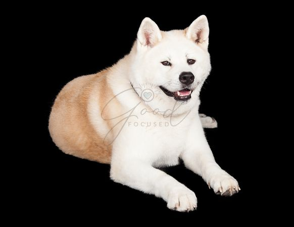 White And Brown Akita Lying Against Black Background