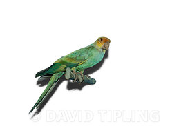 Carolina Parakeet from North America now extinct