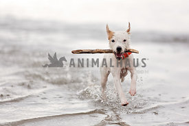 Terrier running in lake with a stick