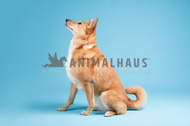 red thick coat cattle dog retriever mix sitting on a blue background facing left full body