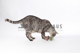 silver tabby playing with toy mice