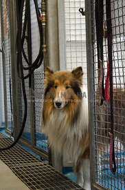 A large Collie looks out from her cage at the animal rescue