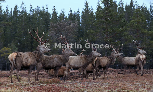 Red Deer stags (Cervus elaphus) in front of forestry, in light falling snow, Badenoch & Strathspey, Scottish Highlands