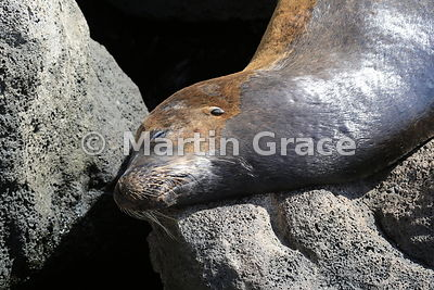 The rough with the smooth: Galapagos Sea Lion (Zalophus californianus wollebacki) sleeping on volcanic rocks at Puerto Baquer...
