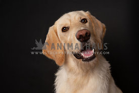 Happy labradoodle dog on dark background