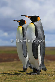 Pair of King Penguins (Aptenodytes patagonicus) standing together silently as part of their courtship, Volunteer Point, East ...