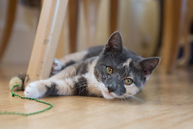 Calico Kitten Lying on Floor under Chair Looking toward Viewer