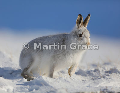 Mountain Hare (Arctic Hare) (Lepus timidus) walking in snow, February 13, Strathdearn, Scottish Highlands