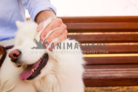 happy samoyed enjoying being pet by her dad on a bench
