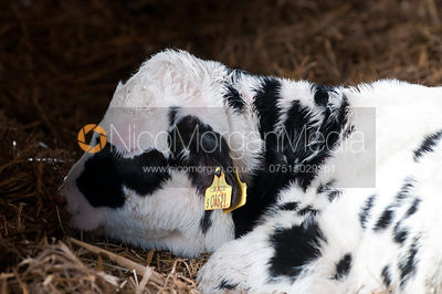 Pedigree Holstein dairy cattle on a dairy farm
