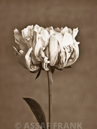 Peony flower, close-up (Sepia)