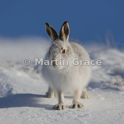 Mountain Hare (Arctic Hare) (Lepus timidus) walking towards the photographer, showing how it can spread its toes wide to assi...
