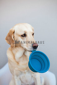 labrador with atitude wanting food holding bowl in his mouth
