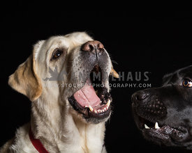 funny expressions on two Labrador Retrievers in studio on black background
