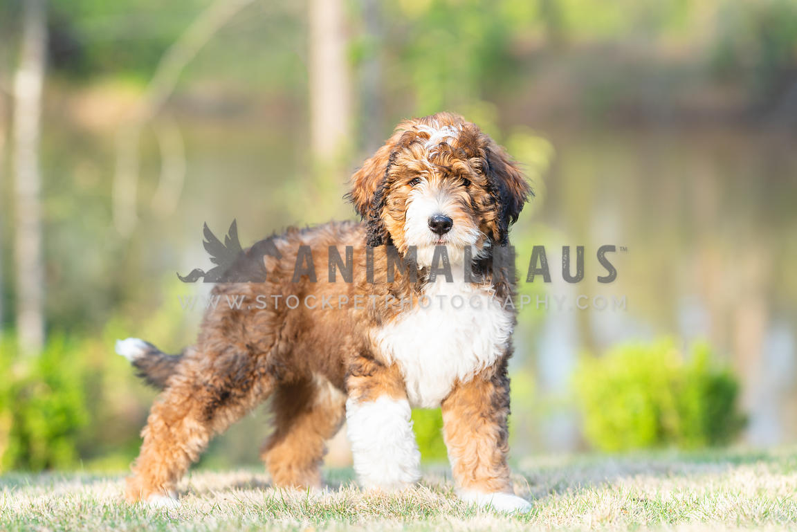 close up of bernadoodle puppy standing in grass