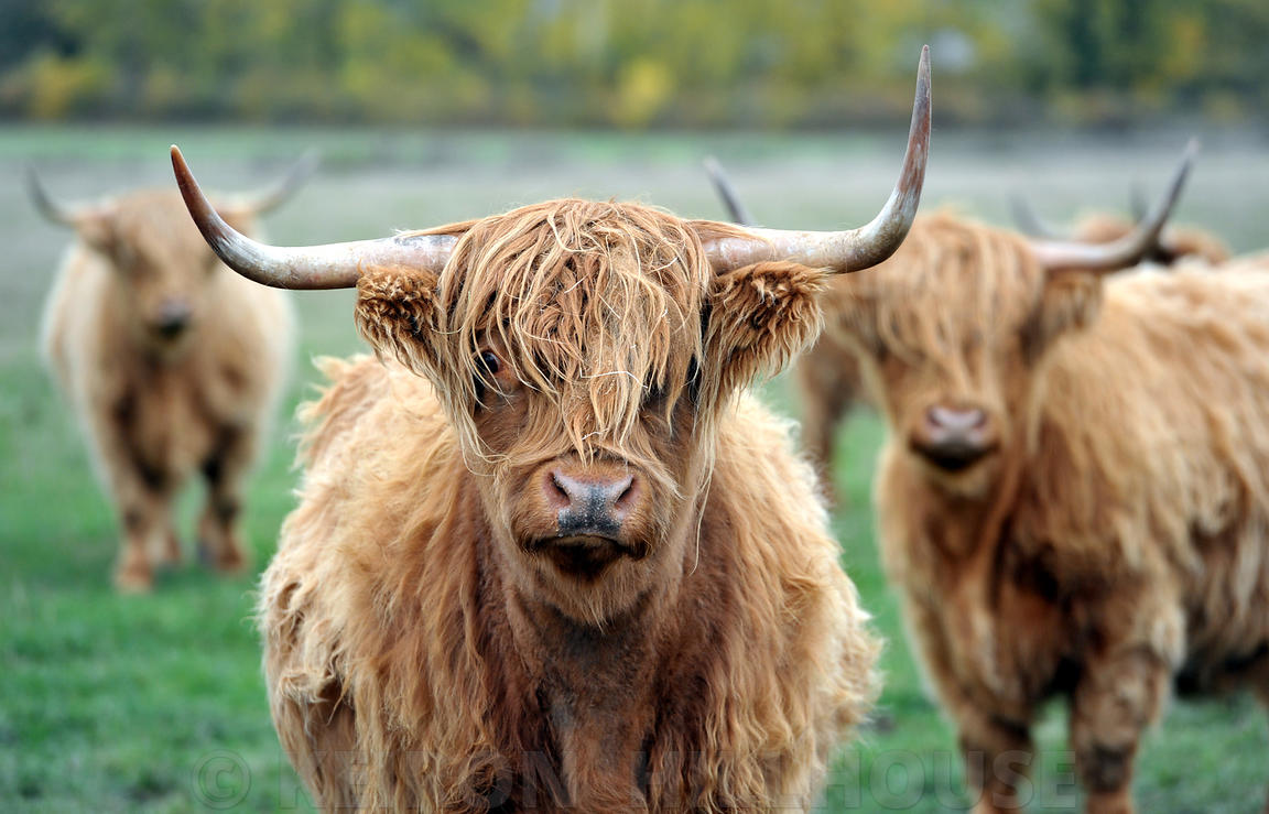 Highland Cattle