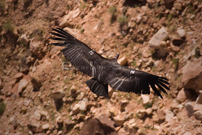 California Condor (Gymnogyps californianus) in flight, showing wing tags, Colorado River, Arizona, USA. Endangered.
