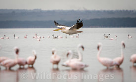 Great White pelican (Pelecanus onocrotalus) gliding by Lesser Flamingos (Phoenicopterus minor) , Lake Nakuru National Park, K...