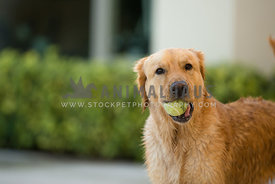 dog holding tennis ball in mouth