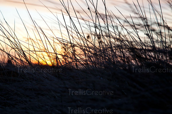 Silhouette of tall beach dune grass with a sunset sky